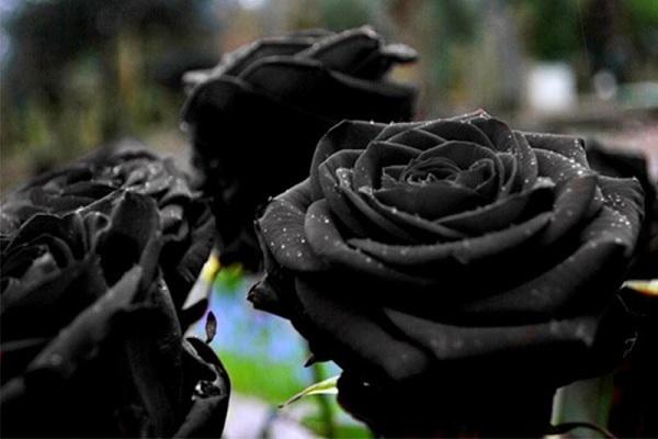loài hoa tượng trưng cho nỗi buồn