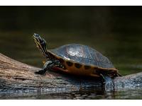 Nuôi rùa phong thủy có nên hay không