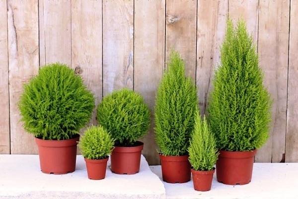 Tuổi Dậu nên trồng cây gì là tốt