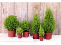[Tư Vấn] Tuổi Dậu nên trồng cây gì là tốt