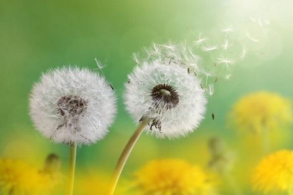 ý nghĩa hoa bồ công anh trong tình yêu
